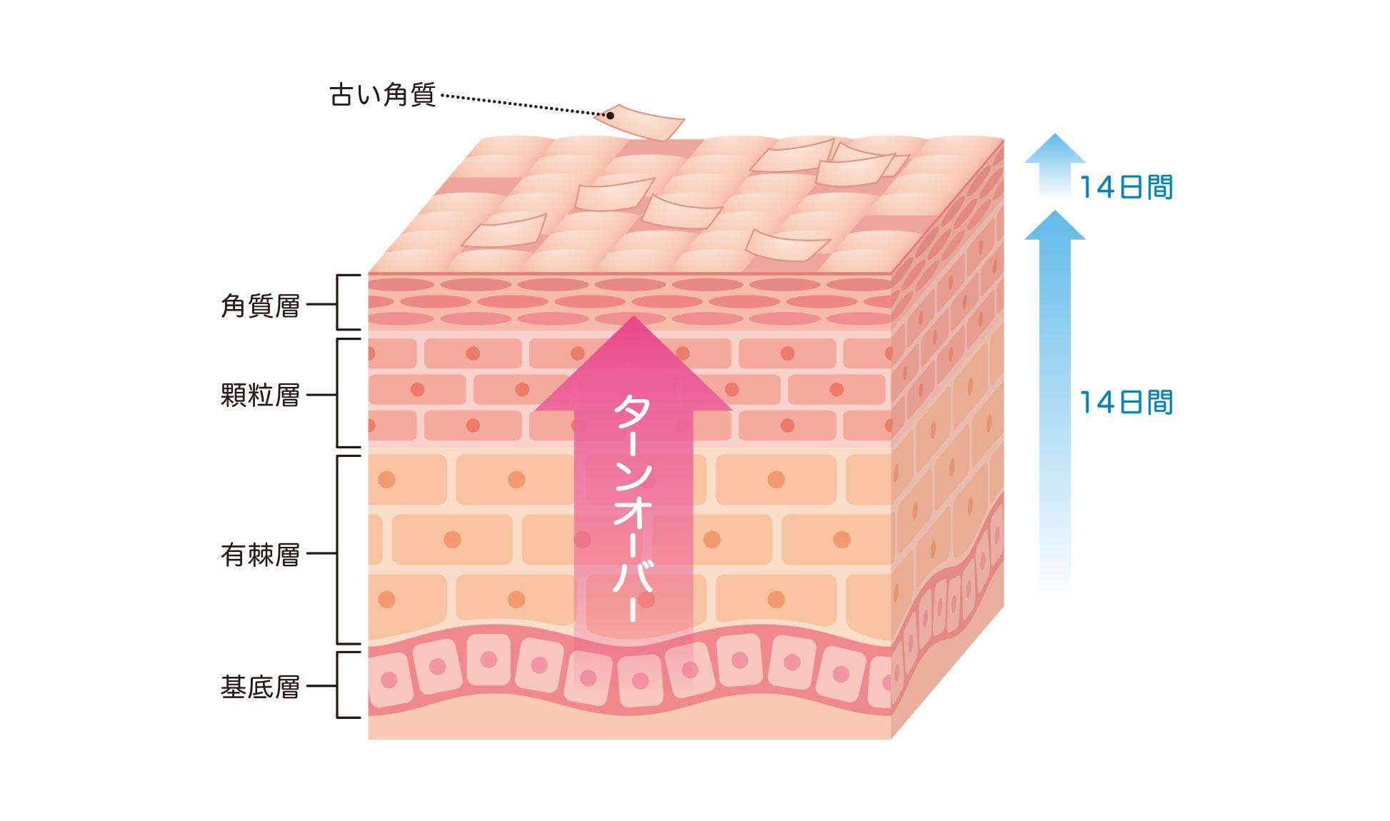 肌のターンオーバー説明画像